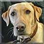 Kona the Yellow Labrador Retriever