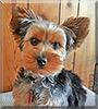 Cooper the Yorkshire Terrier