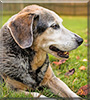 Sam the Cattle Dog, Beagle