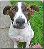Spotty the Jack Russell Terrier, Cane Corso