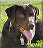 Shiloh the Chocolate Labrador Retriever