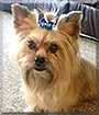 Beau Beau the Yorkshire Terrier