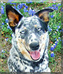 Jynxx the Blue heeler, Australian shepherd