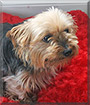 Susie the Yorkshire Terrier