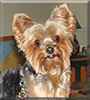 Zoey the Yorkshire Terrier