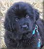 Bera the Newfoundland