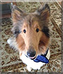 Sundar the Rough Collie