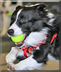 Blade the Border Collie