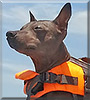 Blueberry James the American Hairless Terrier