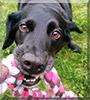 Sadie the Labrador, Beagle