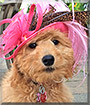 Marley the Golden Retriever, Poodle