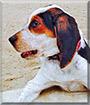Kendle Lee the Bluetick, Treeing Walker Coonhound