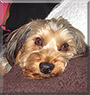 Baxter Hughes the Yorkshire Terrier