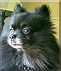 Wookiee the Pomeranian