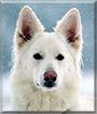 Iita the White Swiss Shepherd