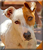 Bobby the Fox Terrier, Jack Russell Terrier
