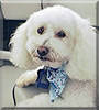Pierce the Poodle, Bichon Frisé mix