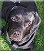 Lasko the Labrador Retriever