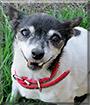 Tilly the Miniature Fox Terrier