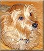 J.J. the Cairn Terrier