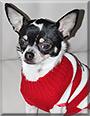 Filou the Chihuahua