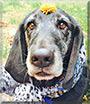 Boomer the Basset hound, Golden Retriever