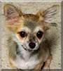 Chewy the Chihuahua