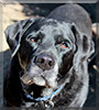 Major the Labrador Retriever