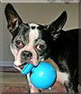 Duke the Boston Terrier
