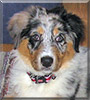 Colleen the Australian Shepherd