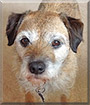 Boots the Border Terrier