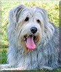 Grover the Old English Sheepdog, Briard