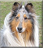 Dante the Rough Collie