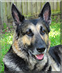 Axel the German Shepherd Dog