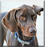 Suna the Doberman Pinscher, German Shorthair Pointer