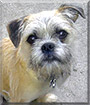 Wiggy the Brussels Griffon, Pug
