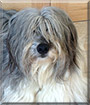 Echo the Bearded Collie mix
