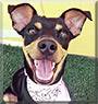 Bella the Miniature Pinscher