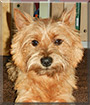 Eddy the Cairn Terrier