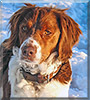 Zoey the Brittany Spaniel