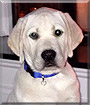 Rambo the Labrador Retriver