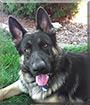 Trouble the German Shepherd Dog