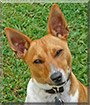 Jack the Jack Russell Terrier mix