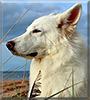 Rogue the German Shepherd Dog