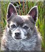 Roxy the Pomeranian, Chihuahua