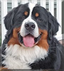 Billy Boy the Bernese Mountain Dog