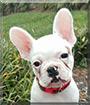 Merci the French Bulldog