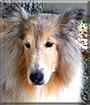 Ben Hur the Shetland Sheepdog