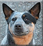 Ice the Australian Cattle Dog