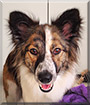 Annie Belle the Border Collie, German Shepherd Dog